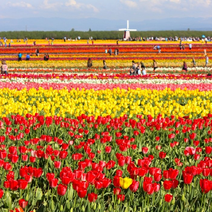 Red tulips from the Wooden Shoe Tulip Festival