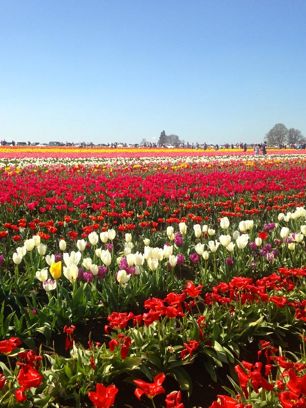Wooden Shoe Tulip Festival during a Spring trip to Portland