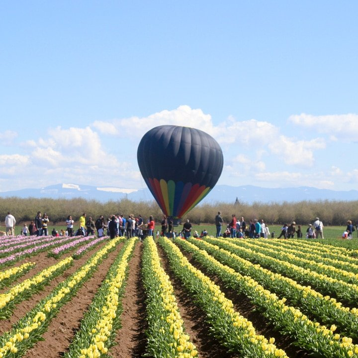 wooden shoe tulip festival field of tulips in bloom with a hot air balloon in the sky