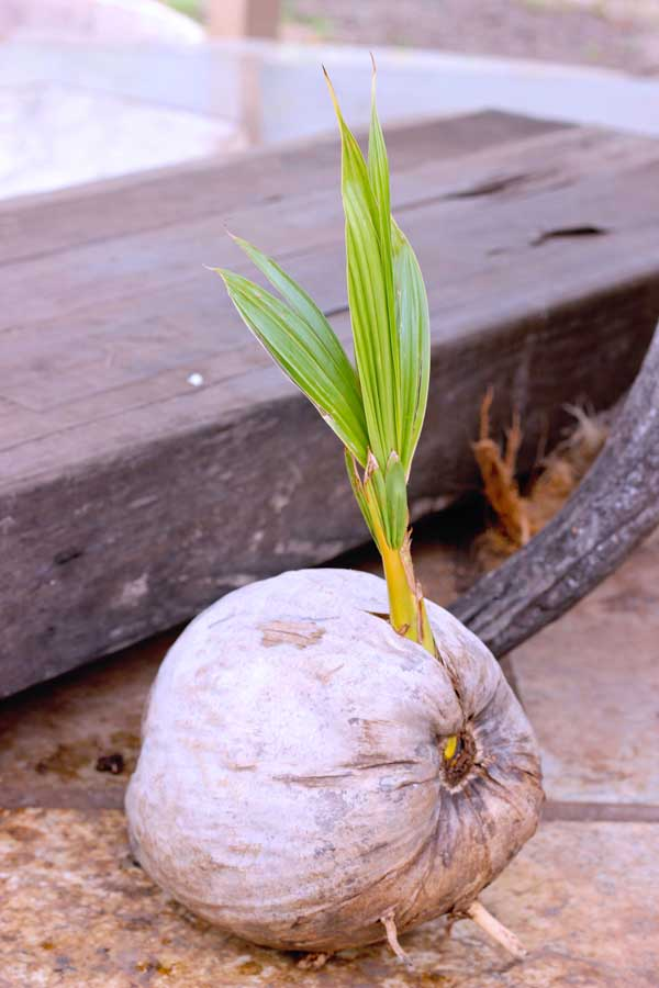the right stage to husk a coconut