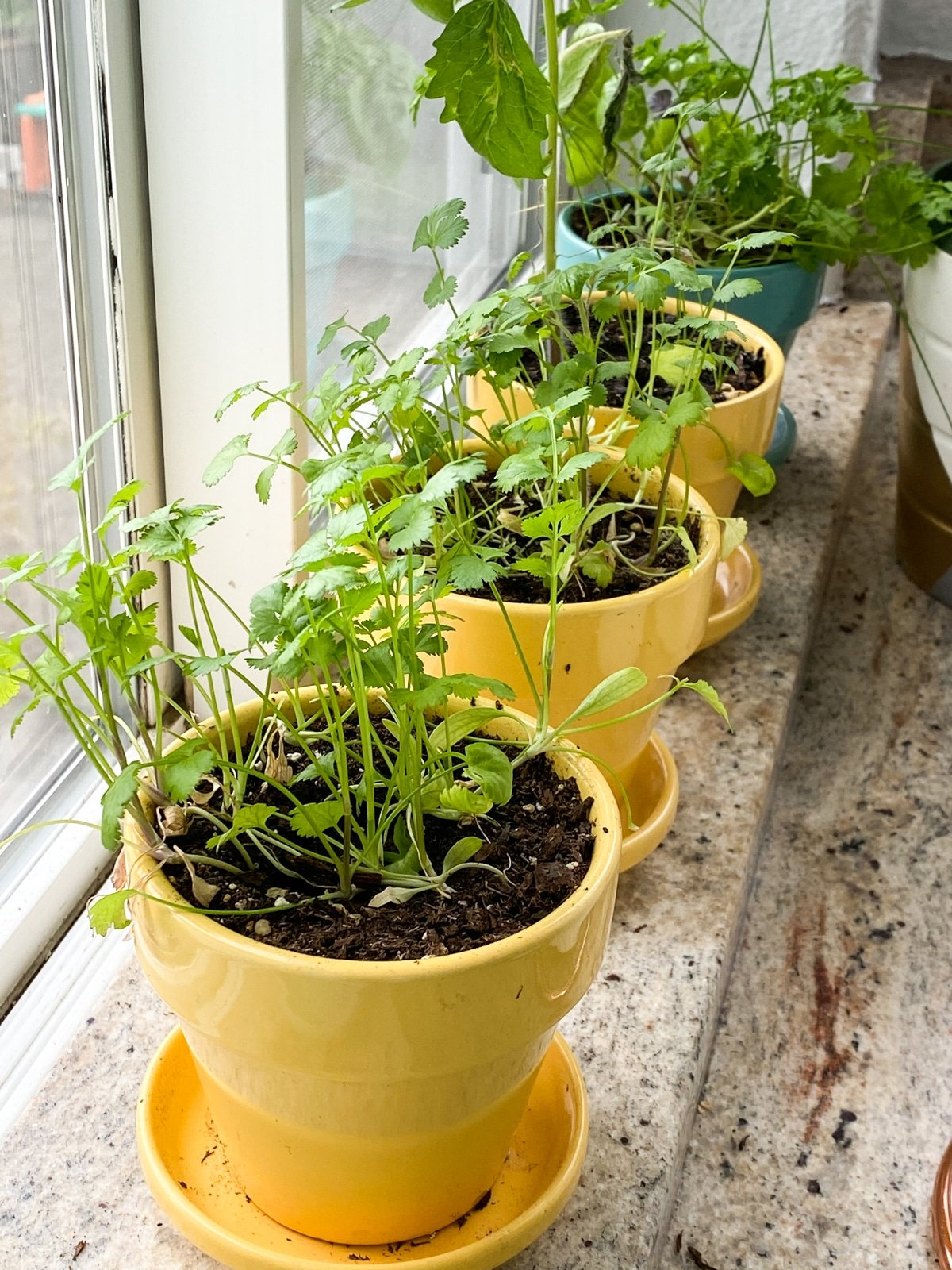 growing herbs inside for cooking