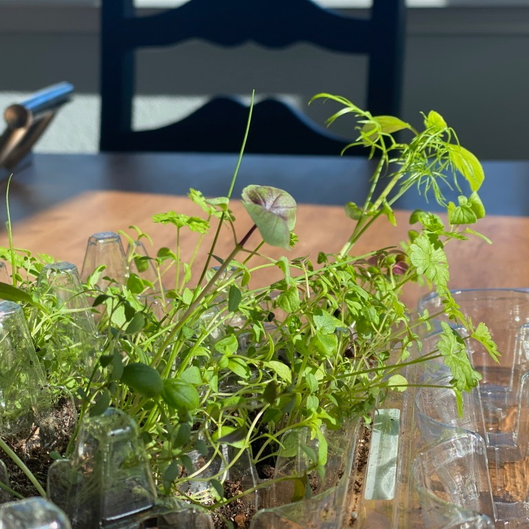 growing herbs in containers in the kitchen