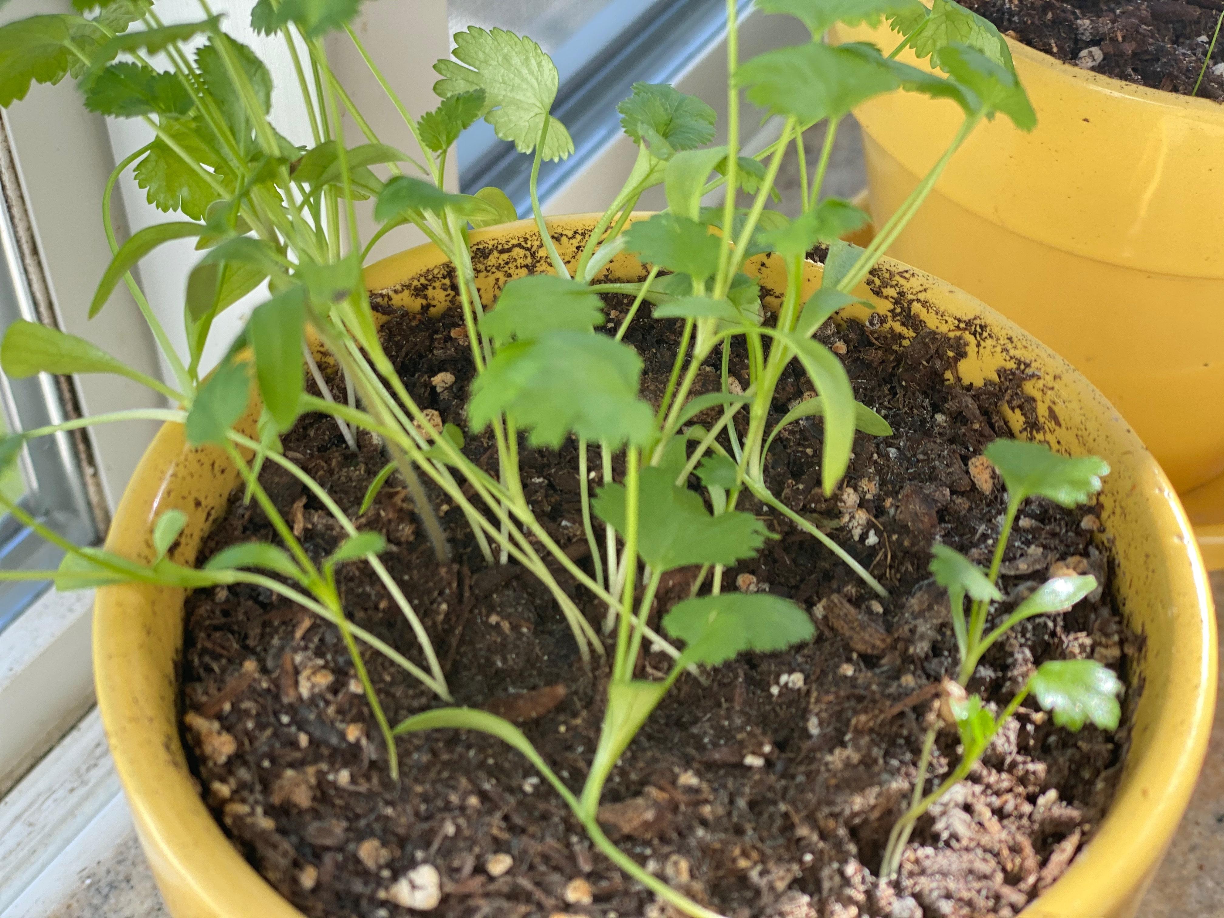cilantro herbs that thrive inside