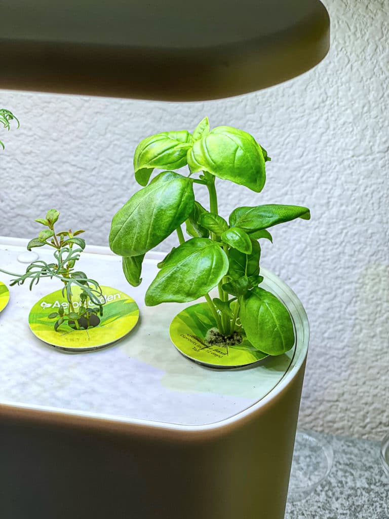 Growing basil with the Aerogarden Harvest Slim