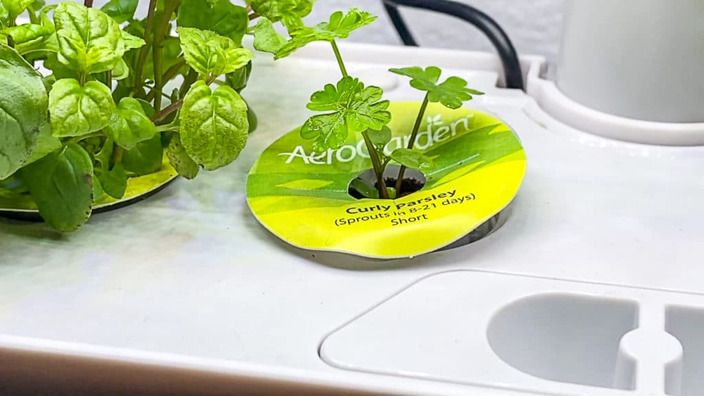 aerogarden parsley sprouting