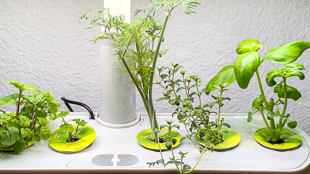 Aerogarden growing fresh dill mint parsley dill thyme and genovese basil sprouting
