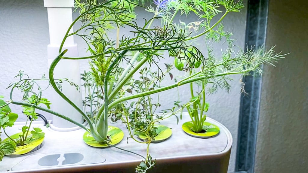 Aerogarden light with dill growing tall
