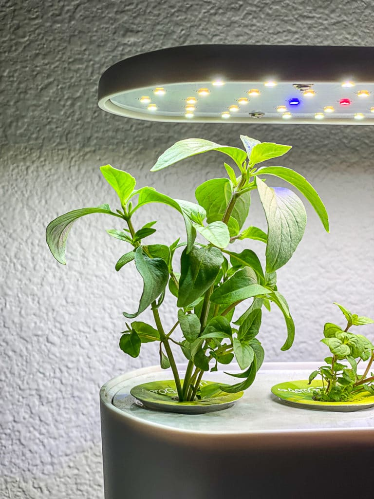 aerogarden herb system with thai basil growing