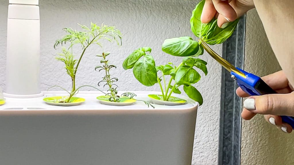 pruning and growing herbs in the aerogarden harvest slim
