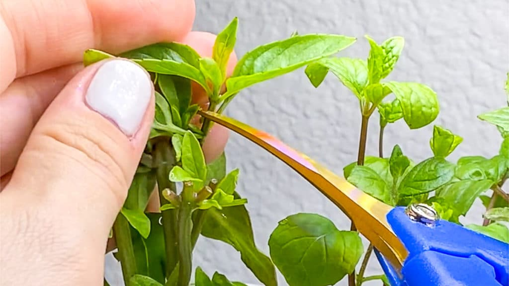 pruning fresh herbs to cook with