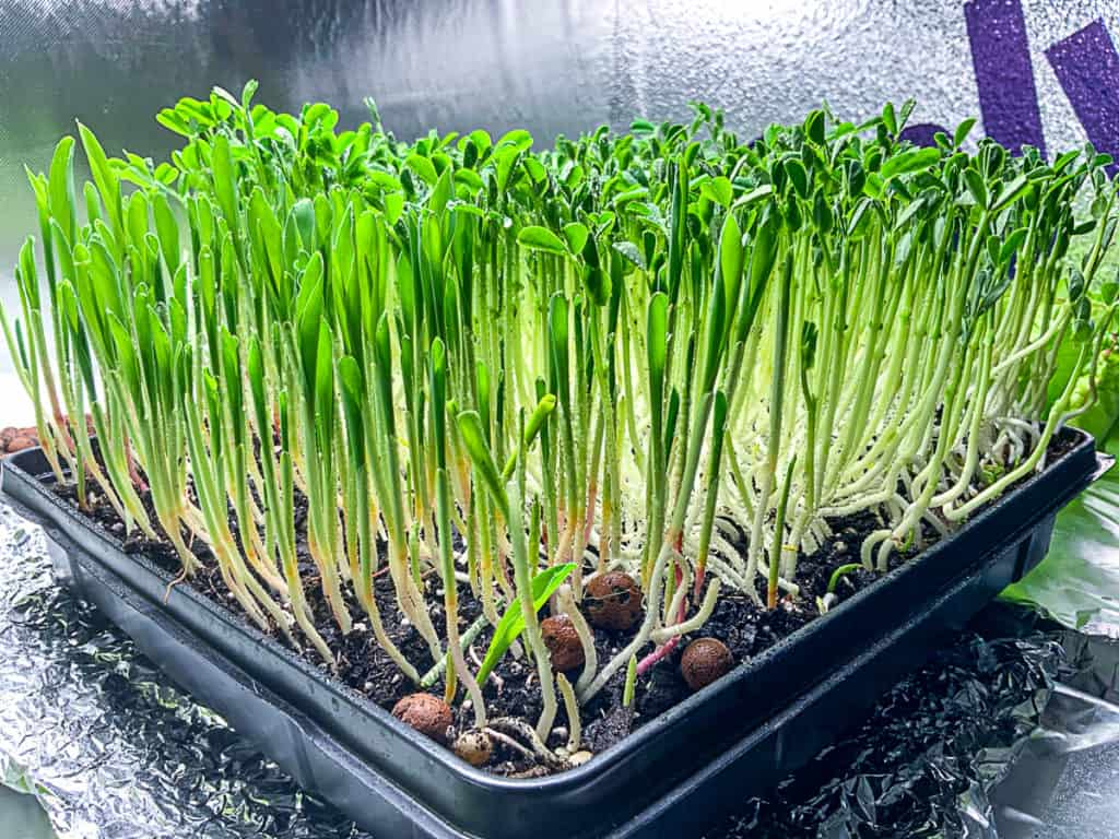 top shot of hydroponically growing popcorn pea shoots