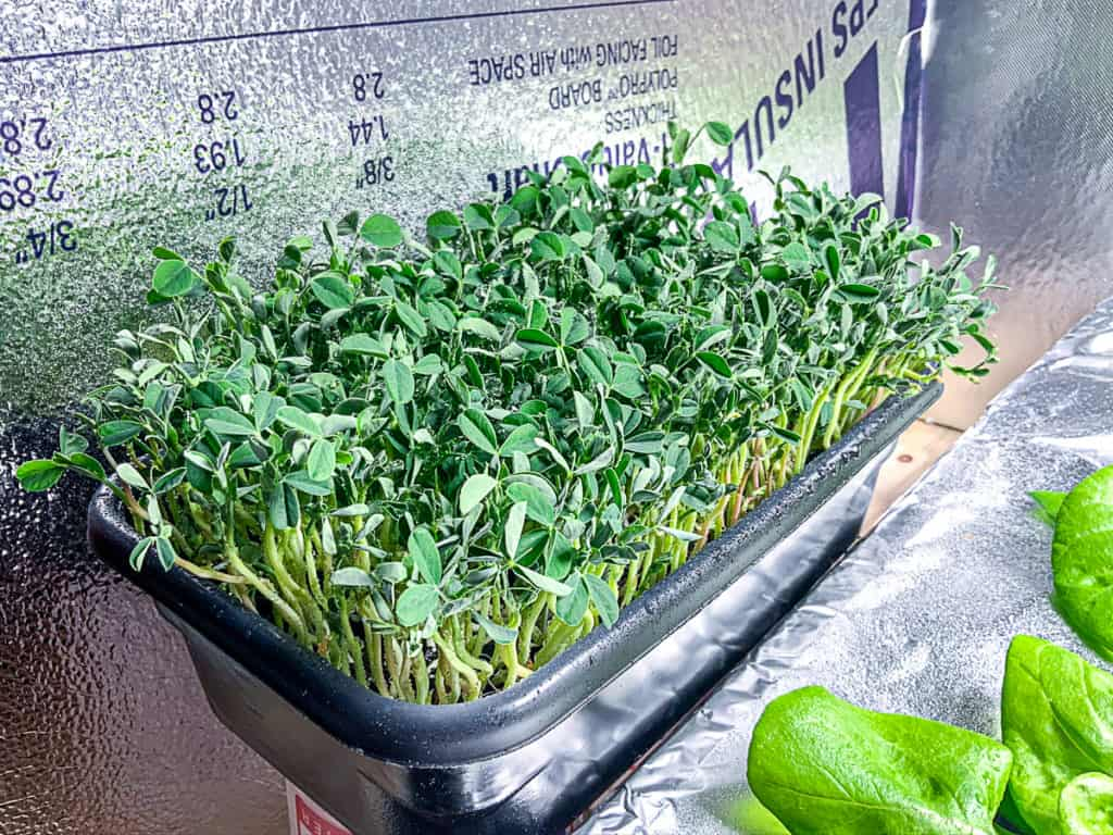 top shot of hydroponically growing pea shoots